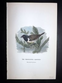 C. W. Gedney 1888 Hand Col Bird Print. Bronze Wing Mannikin. Indonesia Native